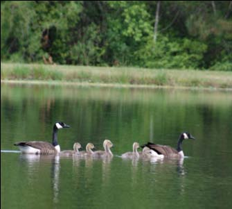 Canada Goose kids sale cheap - Coping with Canada Geese: Conflict Management and Damage ...