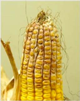 Gibberella Ear Rot and Mycotoxins in Corn: Sampling, Testing, and ...
