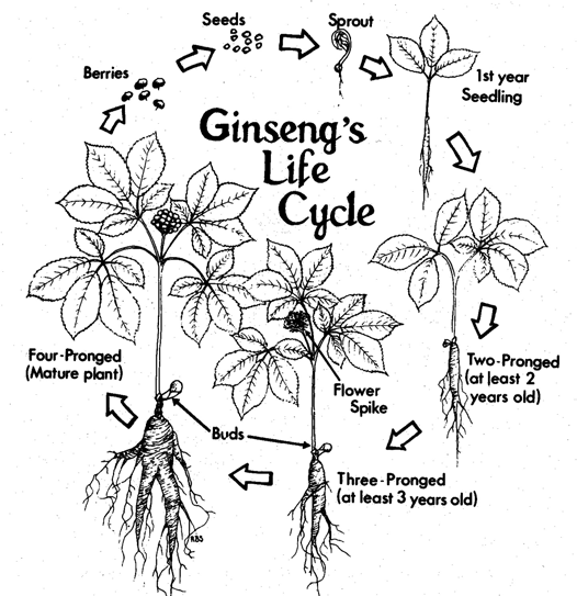 Growing American Ginseng in Ohio: Site Preparation and Planting ...