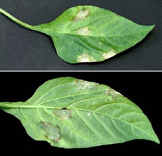 Viral Diseases Of Plants