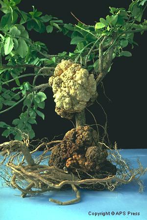 Bacterial Diseases of Plants   Ohioline