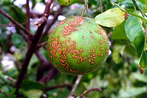 Bacterial Diseases of Plants | Ohioline