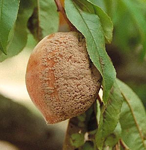What are Fungal Diseases in Plants?