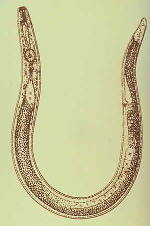 Nematode Diseases Of Plants Ohioline