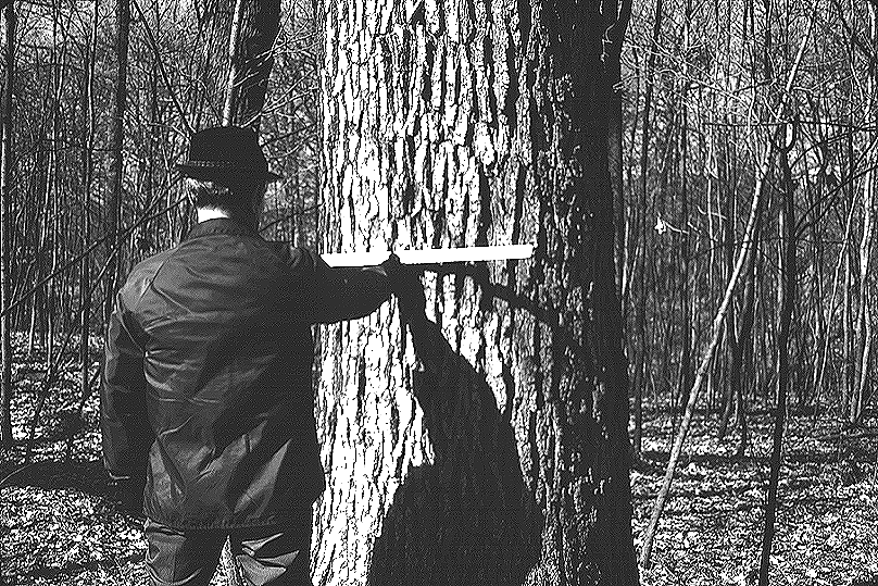 Woodland owner evaluating financial maturity of white oak.