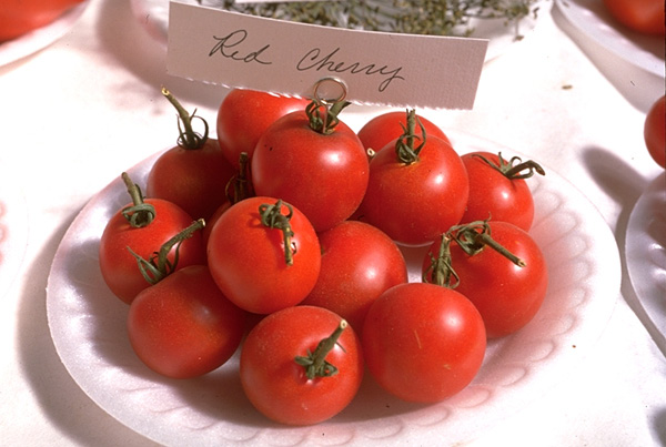 Growing Tomatoes in the Home Garden | Ohioline