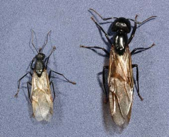 Carpenter Ants | Ohioline