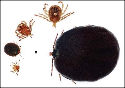 Ticks And Tick Borne Diseases Ohioline