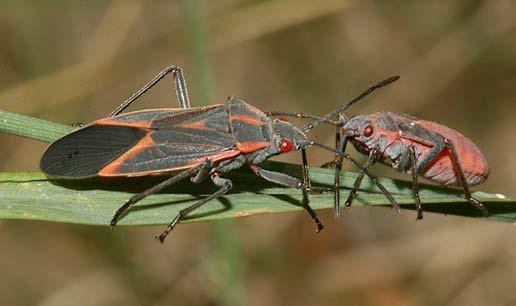 And Large Nymph Boxelder Bugs