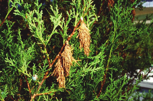 Bagworm and Its Control | Ohioline