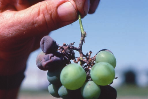 phomopsis cane and leaf spot of grape