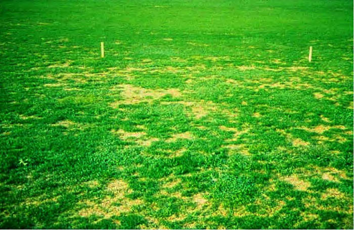 summer patch on turfgrass