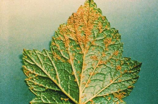 Alergia del árbol de pino | Causas, Síntomas & amp; Tratamiento | Sitio web público de ACAAI