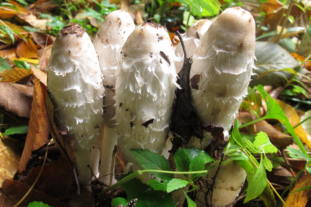 Figure 3 Gy Mane Coprinus One Of The Inky Caps Late Summer To Fall In Gry Areas And Hard Packed Ground Edible Gills Cap Soon Become