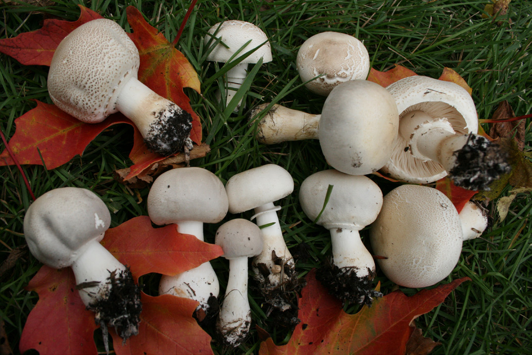 Figure 13 Smooth White Lepiota Gry Areas Late Summer To Early Autumn Edible For Most People Be Aware Of Look A Likes Photo Courtesy B Bunyard