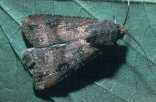 black cutworm