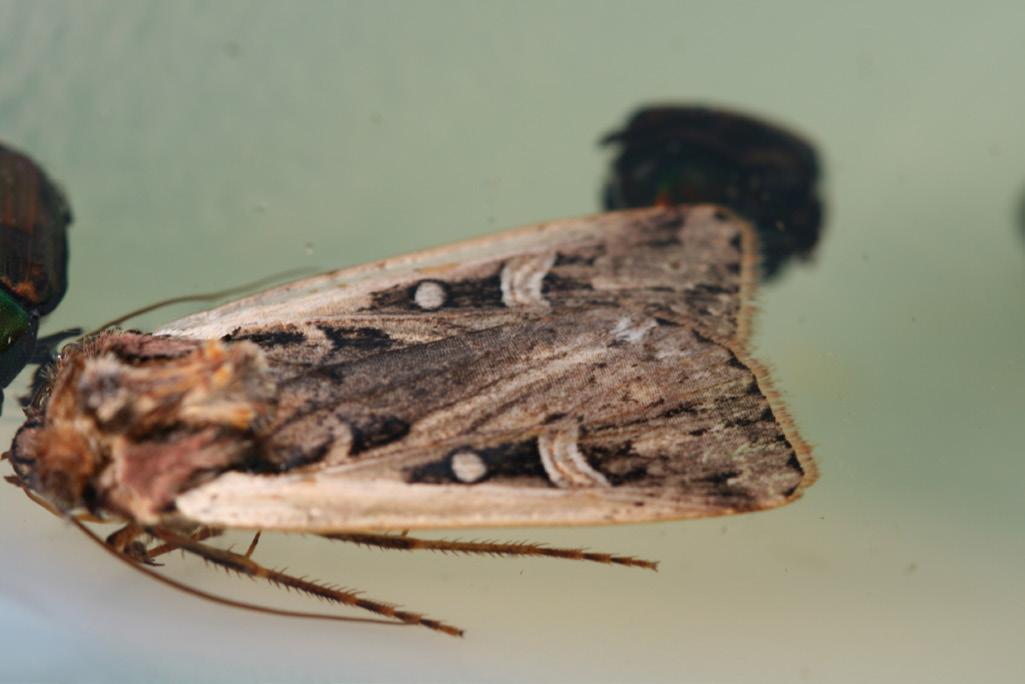 western bean cutworm adult photo by r hammond