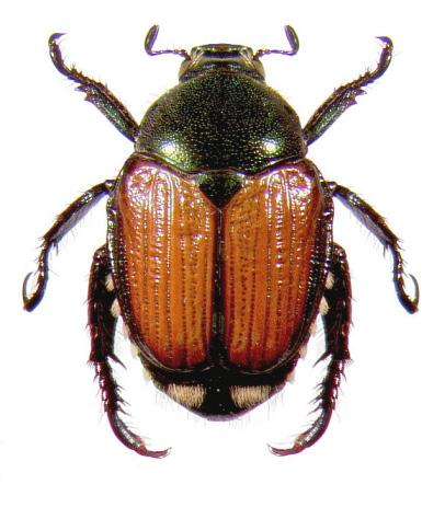 japanese beetle ohioline