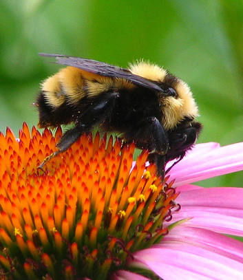 Ohio Bee Identification Guide Ohioline
