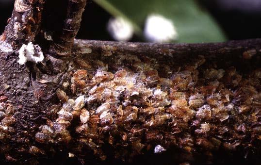 Magnolia Scale Ohioline