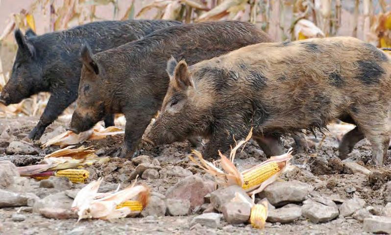 Feral Swine In Ohio
