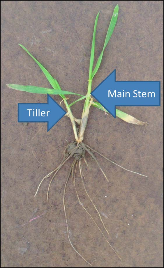 https://ohioline.osu.edu/sites/ohioline/files/imce/Agriculture_and_Natural_Resources/AGF-126_Fig1-wheat-main-stem-and-tiller.jpg