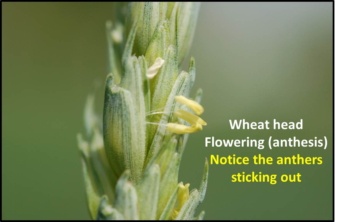 wheat growth stages and associated management