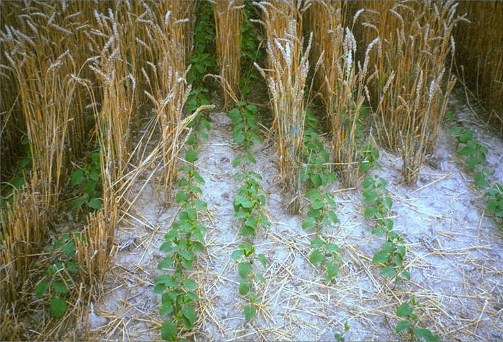 Image of soybean planted between rows of wheat