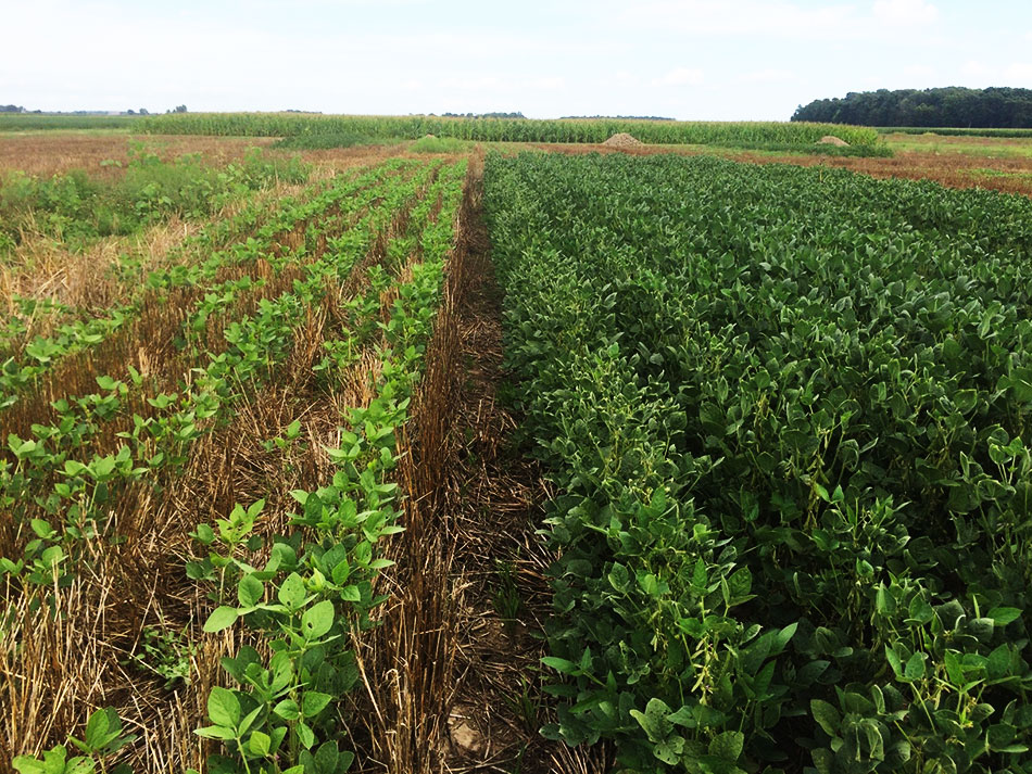 Crop field with rows of wheat and soybean being grown next to one another.