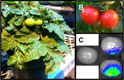 Image A shows spotting on a tomato leaf, image B shows contaminated fruit, image C shows bioluminescence signal of contaminated tomatoes
