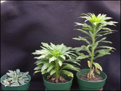 Three growth stages of marestail