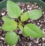 palmer amaranth early growth