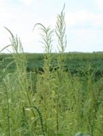 Seedhead of waterhemp as seen in the field