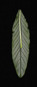 Long leaf with a short petiole on a black background