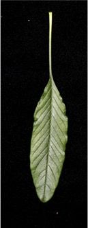Long leaf, front side, with a long petiole on dark background