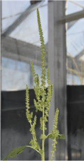 slightly skinnier seedhead of the smooth pigweed, with fuzzy greenhouse in background