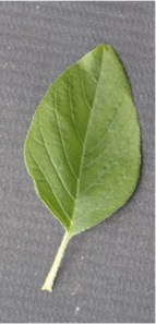 Front of a green leaf with a rough surface