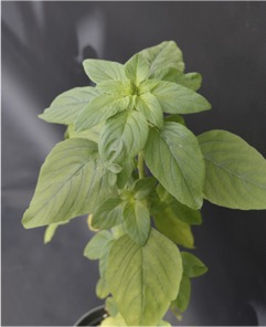 Pigweed plant with multiple green leaves with roundish oval leaves with fuzzy grey background