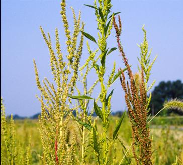 Image of waterhemp seedheads showing genetic resistance variability