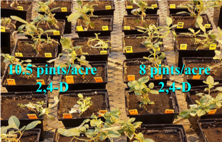 Image of multiple seed plots to test resistance in Illinois