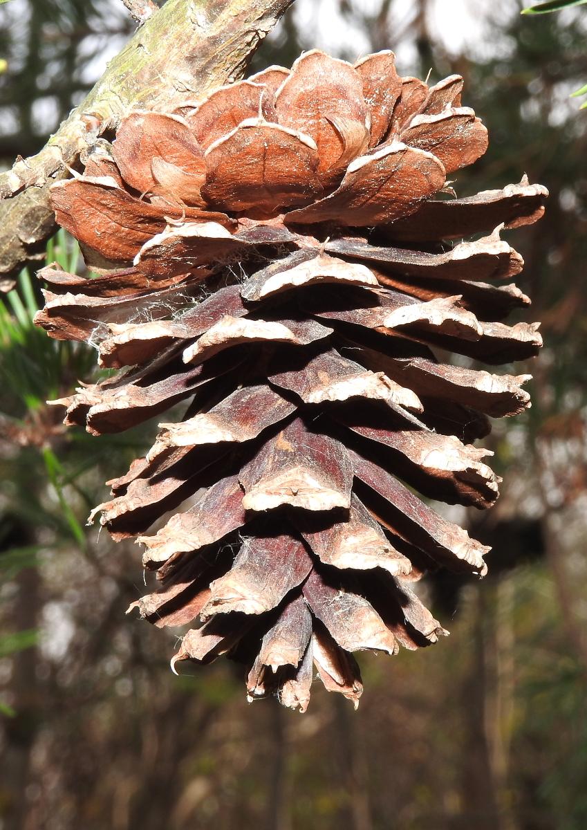 Closeup of a single virginia pine cone, mature, scales open.