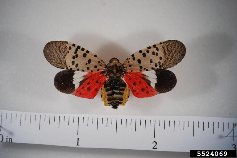 Image 1: Spotted lanternfly with wings fully extended. Credit: Pennsylvania Department of Agriculture, bugwood.org