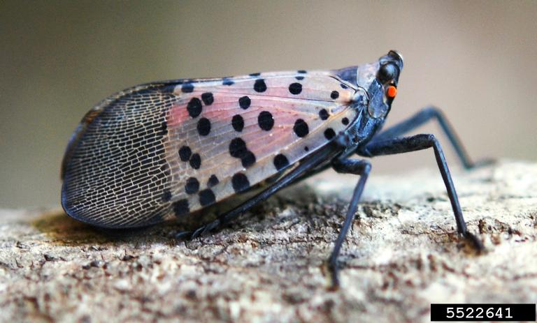 Image 2: Spotted lanternfly, Lycorma delicatula. Credit: Lawrence Barringer, Pennsylvania Department of Agriculture, bugwood.org
