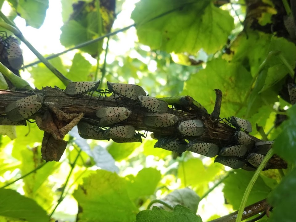 Small section of grape vine covered in approximately 20 lanternflies