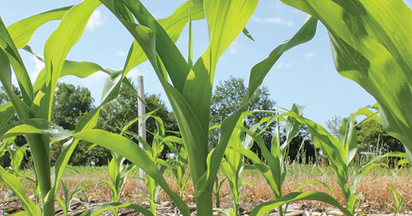 Blue sky and corn field