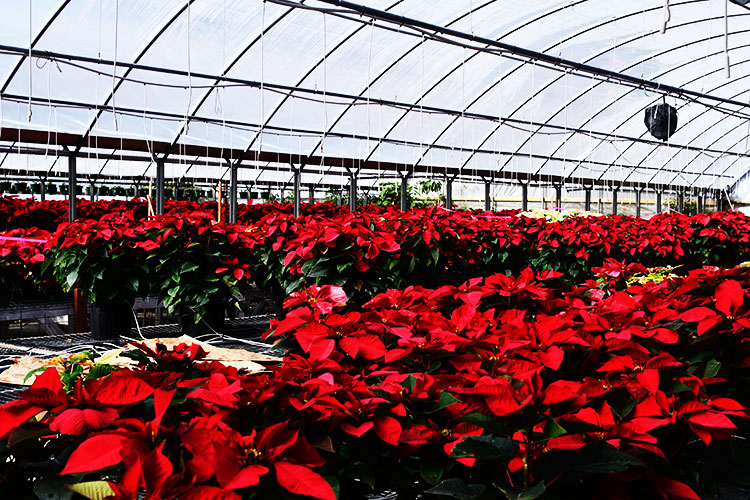 A view inside a greenhouse containing rows of potted poinsettia plants with red flowers.