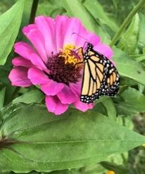 Monarch butterfly on pink flower