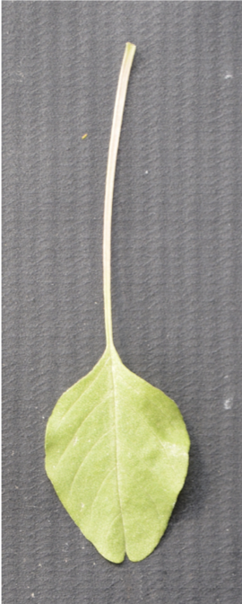 Leaf with super long petiole on grey background