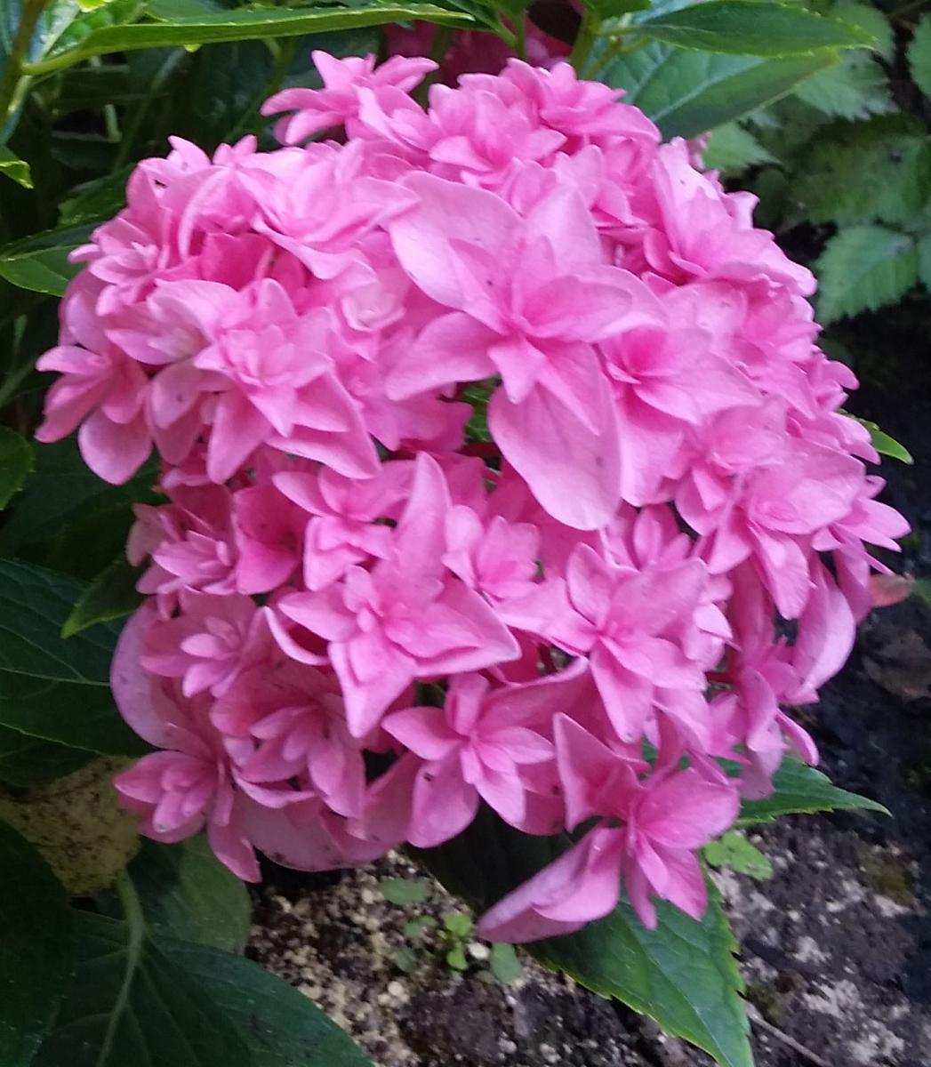 Hydrangea macrophylla 'Double Delights Perfection'