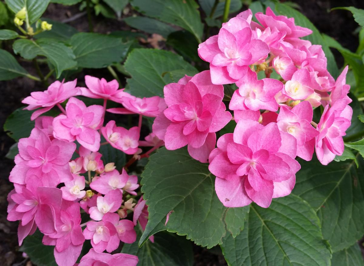 Hydrangea macrophylla Double Delights 'Perfection'